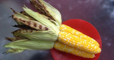 Yellow corn on the cob with husks pulled back showing grill marks
